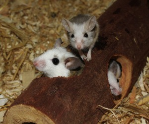 Mice in a log